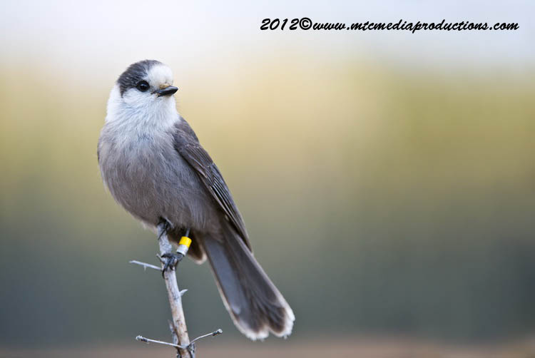 Gray Jay Picture-379