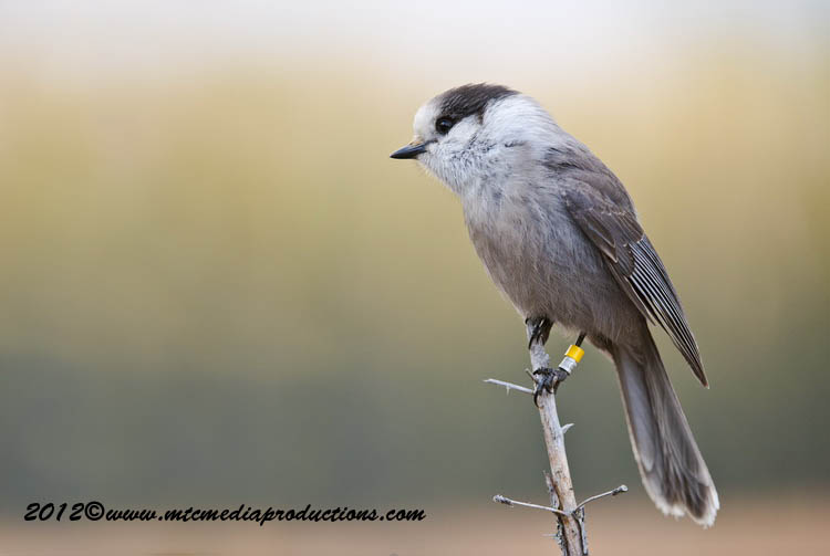 Gray Jay Picture-380