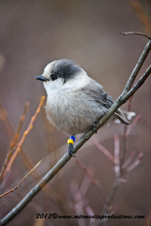Gray Jay Picture-381