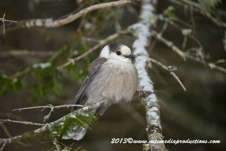 Gray Jay Picture-382