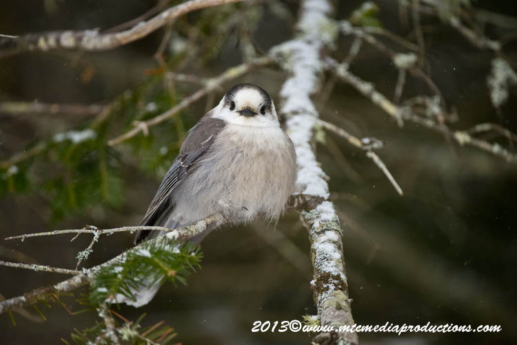 Gray Jay Picture-383