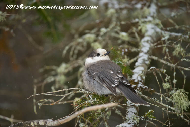Gray Jay Picture-384