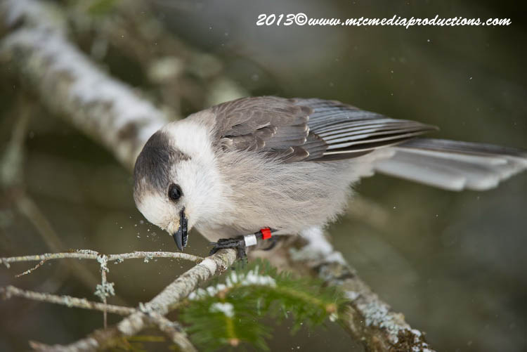 Gray Jay Picture-385