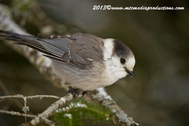 Gray Jay Picture-386