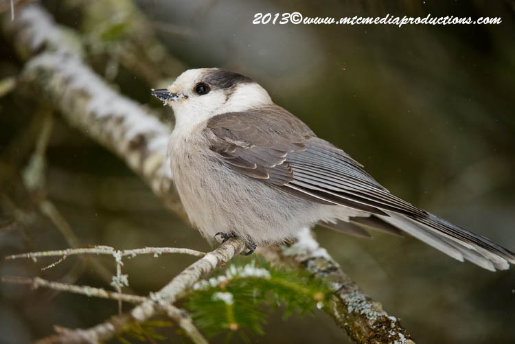 Gray Jay Picture-387