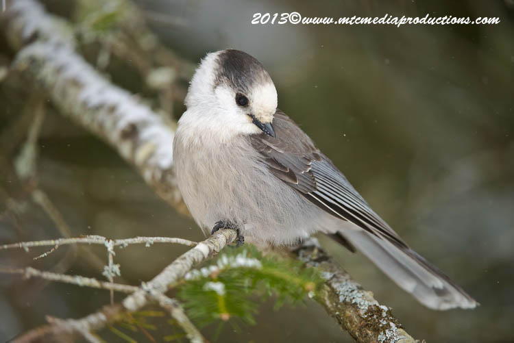 Gray Jay Picture-388