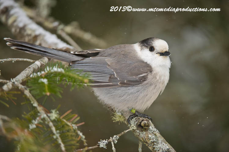 Gray Jay Picture-389