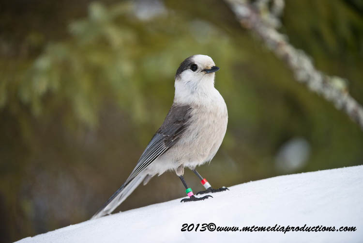 Gray Jay Picture-390
