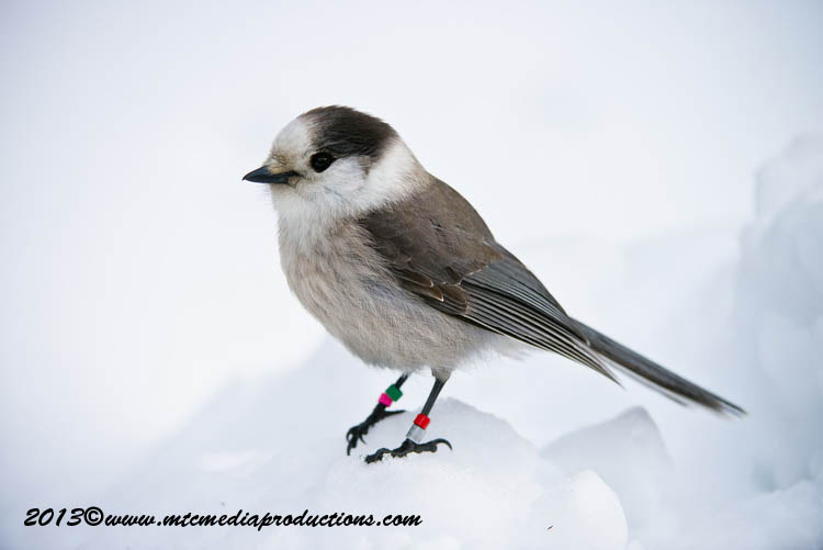 Gray Jay Picture-391