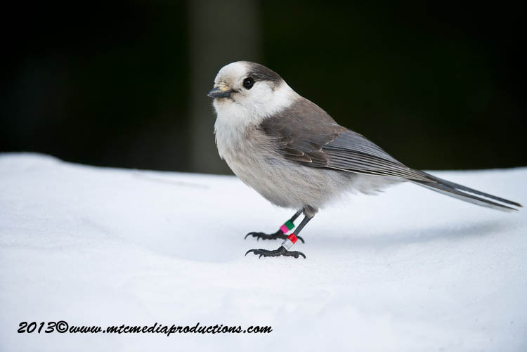 Gray Jay Picture-392