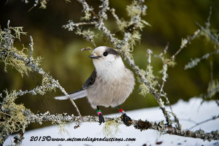 Gray Jay Picture-393