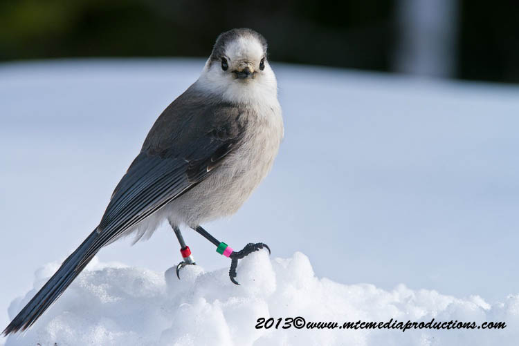 Gray Jay Picture-394