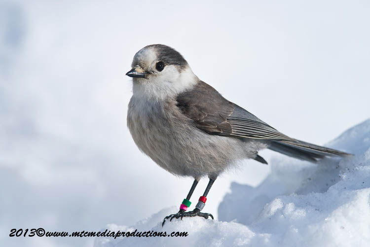Gray Jay Picture-395