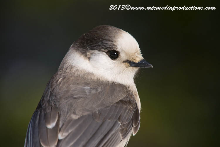 Gray Jay Picture-396