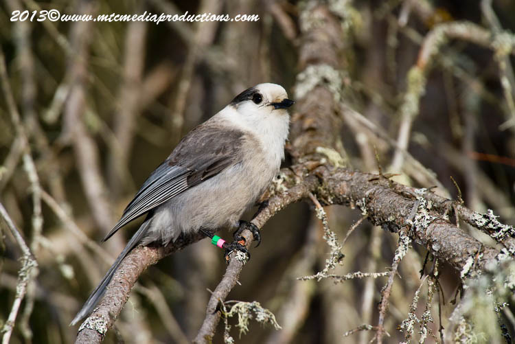 Gray Jay Picture-397