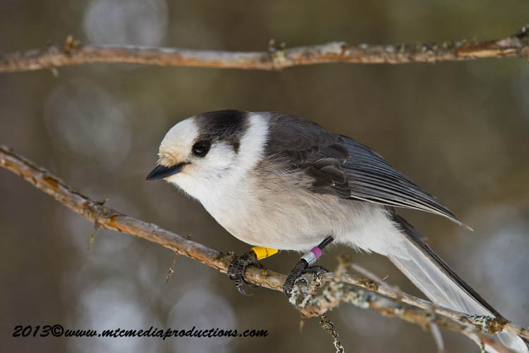 Gray Jay Picture-398