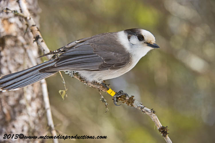 Gray Jay Picture-399