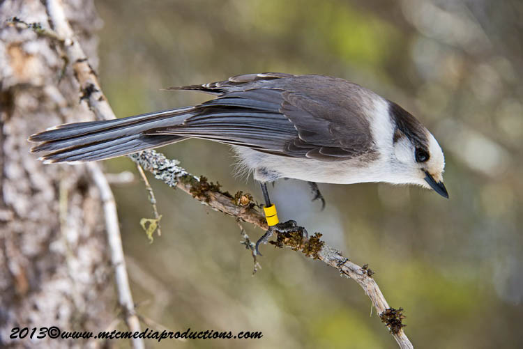 Gray Jay Picture-400