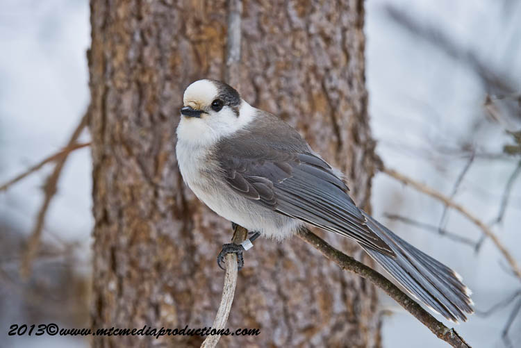 Gray Jay Picture-401