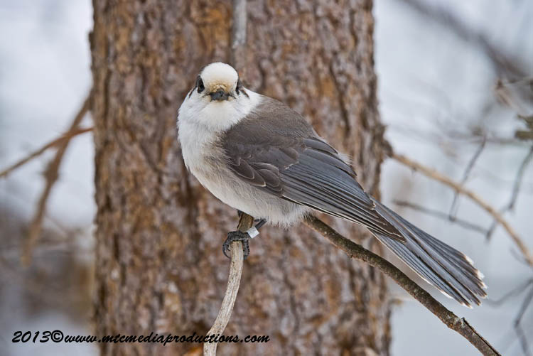 Gray Jay Picture-402