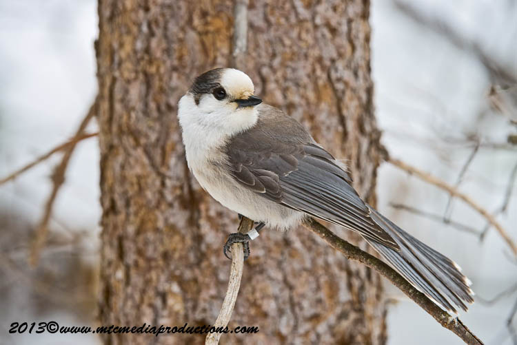 Gray Jay Picture-403