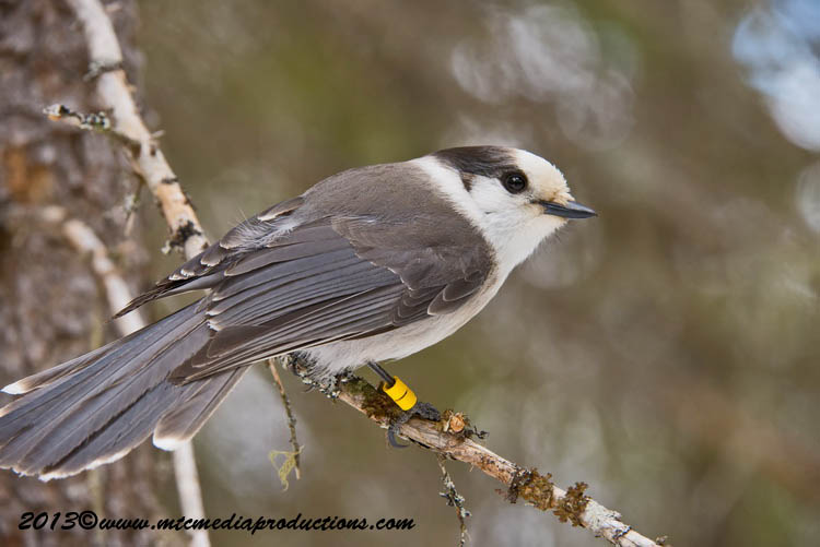 Gray Jay Picture-404