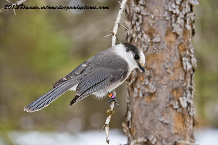 Gray Jay Picture-405