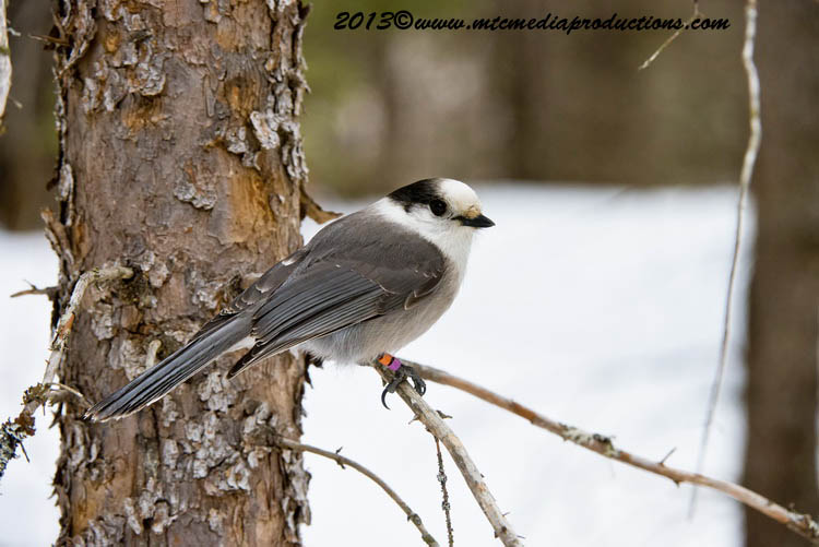 Gray Jay Picture-406