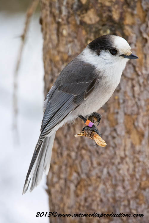 Gray Jay Picture-407