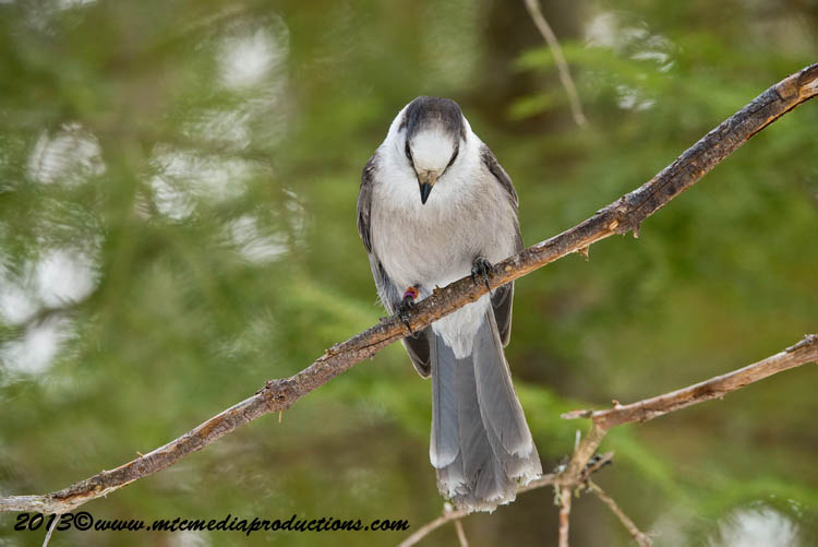 Gray Jay Picture-408