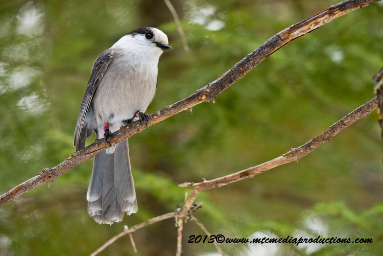 Gray Jay Picture-409