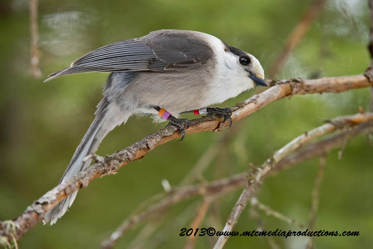 Gray Jay Picture-410