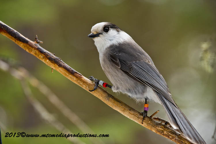 Gray Jay Picture-411
