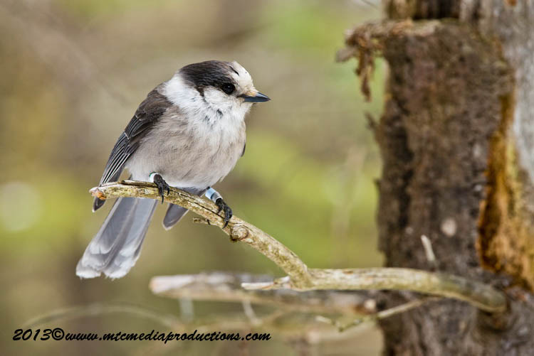 Gray Jay Picture-412
