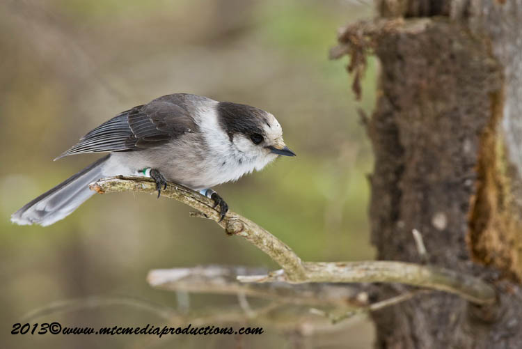 Gray Jay Picture-413