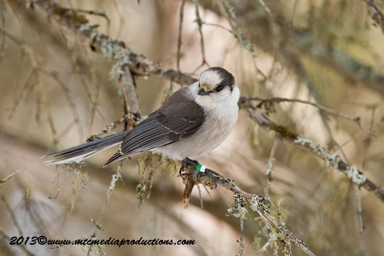 Gray Jay Picture-414