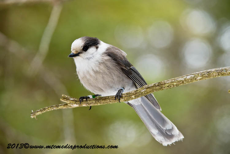 Gray Jay Picture-415