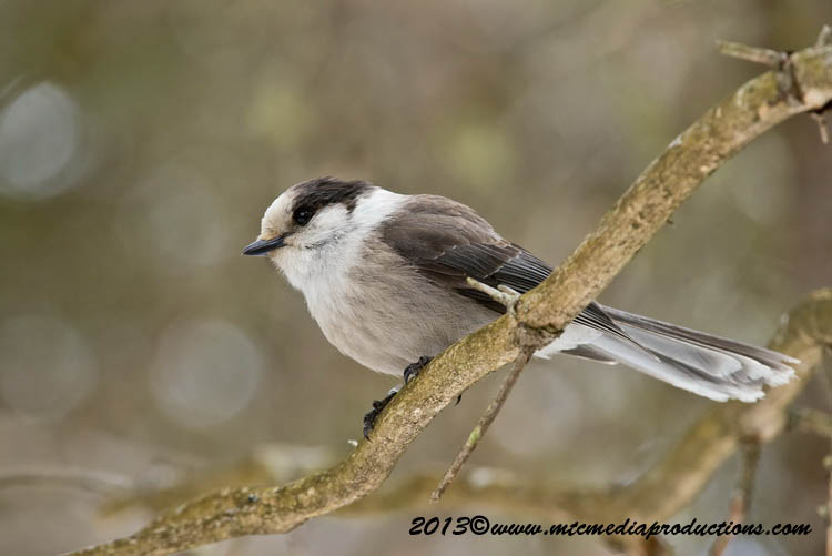 Gray Jay Picture-416