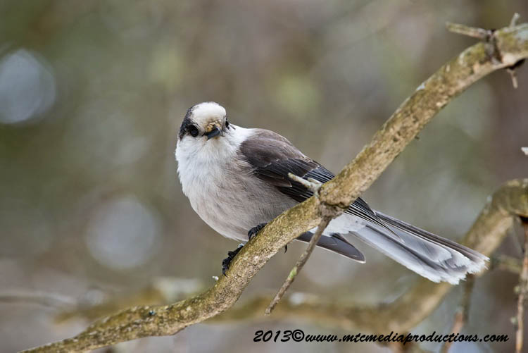 Gray Jay Picture-417