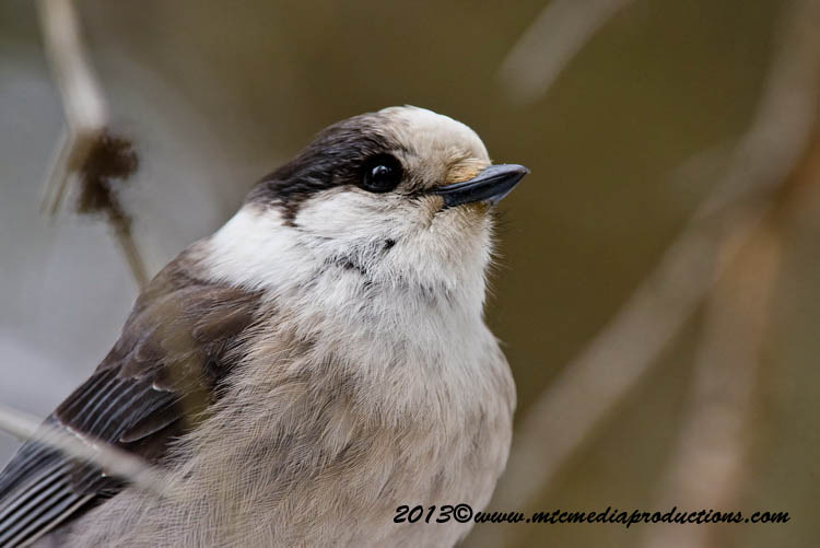Gray Jay Picture-418