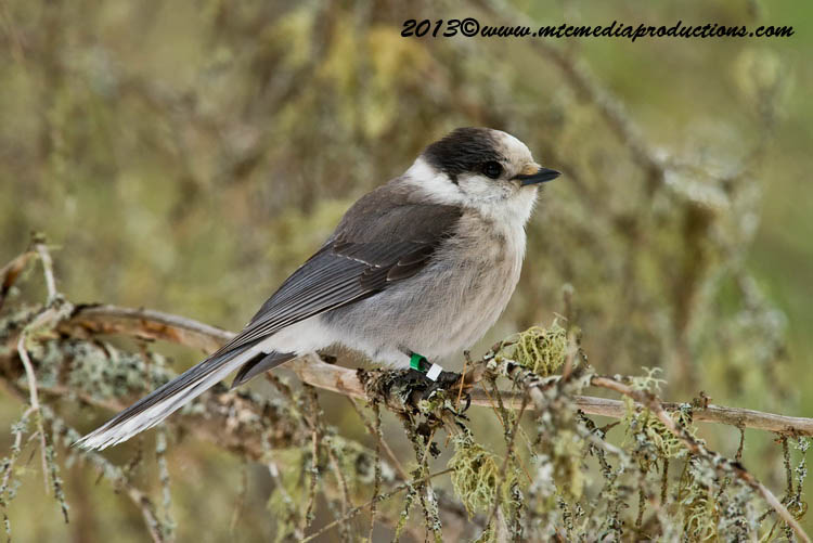 Gray Jay Picture-419