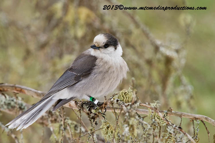 Gray Jay Picture-420