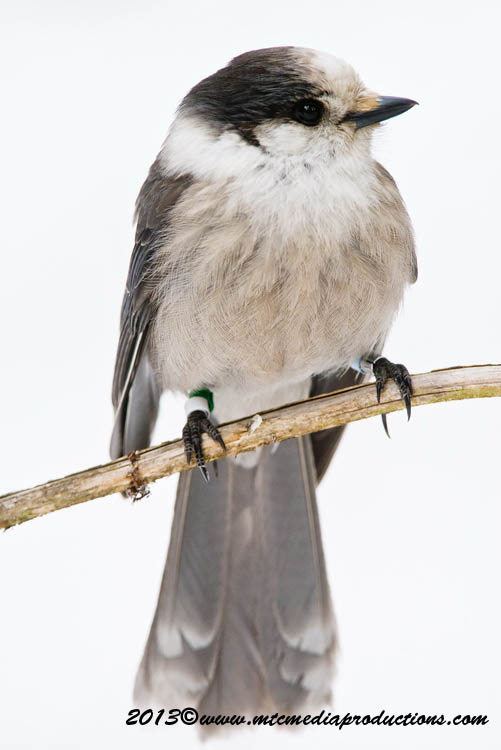 Gray Jay Picture-421