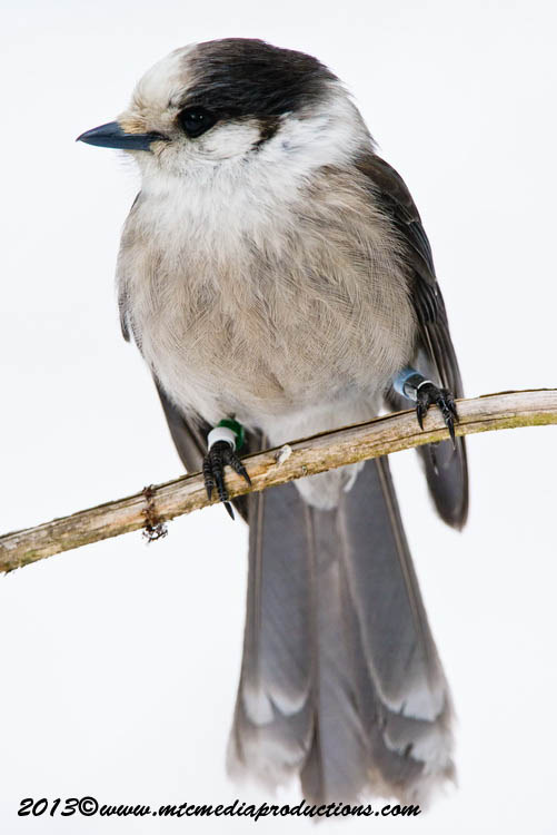 Gray Jay Picture-422