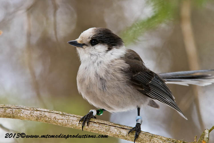 Gray Jay Picture-423