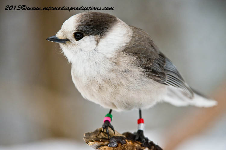 Gray Jay Picture-424