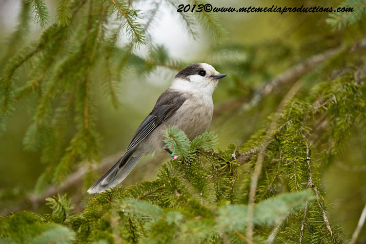 Gray Jay Picture-425
