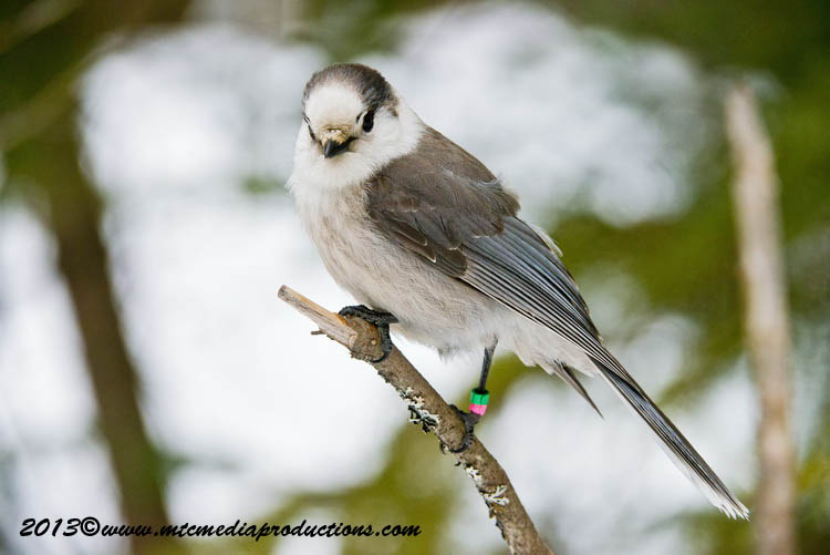 Gray Jay Picture-426