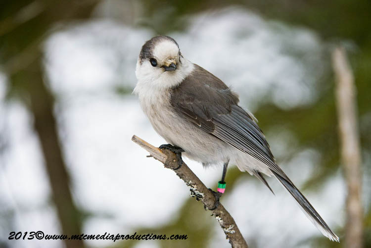 Gray Jay Picture-427