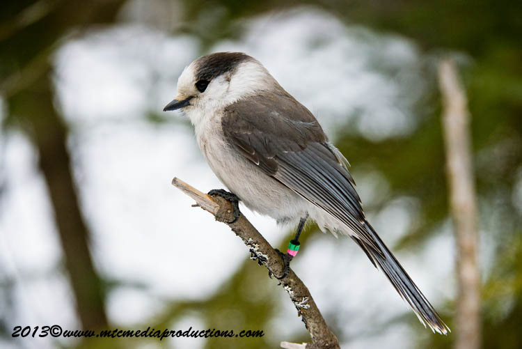 Gray Jay Picture-428
